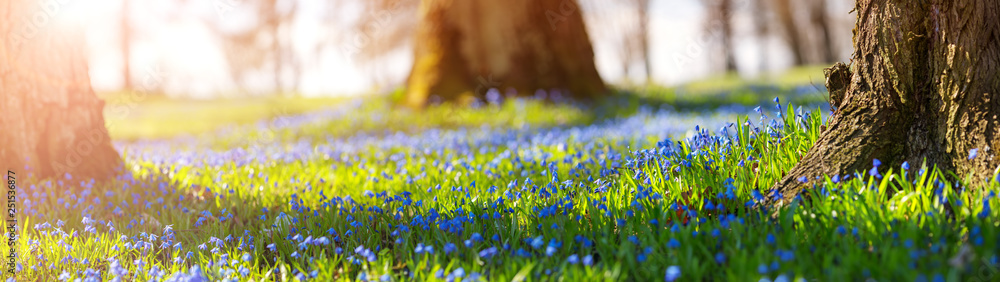 Fototapety, obrazy: Scilla flowers in the park