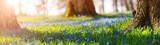 Fototapeta Kwiaty - Scilla flowers in the park