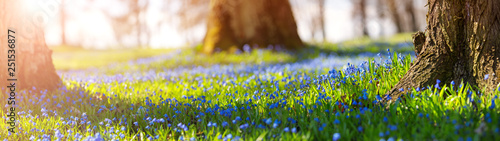 Fotoposter Bloemenwinkel Scilla flowers in the park