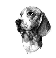 Dog Breed Beagle Head, Sketch ...
