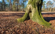 Trunk And Roots Of An Old Beech Tree In A Forest. The Soil Is Strewn With Fallen Leaves And Cupules Of Beech Nuts. The Photo Was Taken In The Mastbos Near The Dutch City Of Breda.