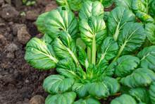 Close-up Of Growing Tatsoi.
