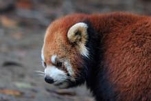 Close Up Of A Red Panda (Ailurus Fulgens) In Chengdu, China