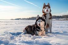 Winter Portrait Two Siberian Husky Dogs Against The Blue Sky. Husky Dogs Sit On Snow.