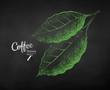 Vector chalk drawn sketch of coffee leaves