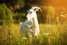 White Goat With Horns Grazing ...