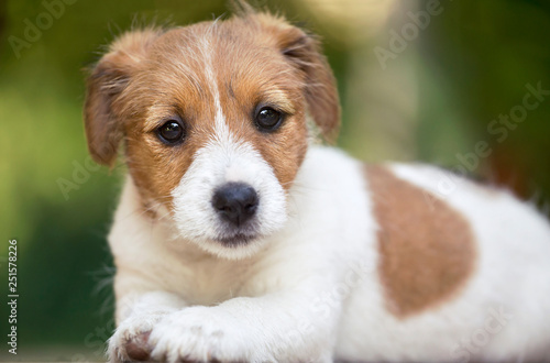 Photo sur Toile Amsterdam Beautiful cute jack russell pet dog puppy looking to the camera