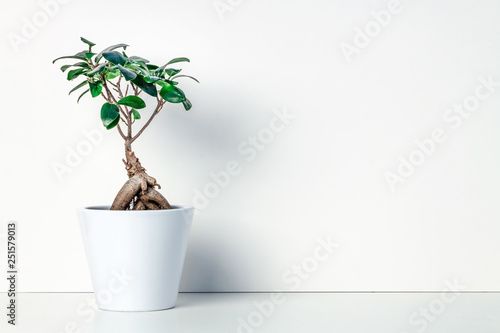 White shelf at home. Bonsai decoration in a ceramic pot. White empty wall. Copy space. Space for text or graphics