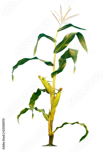 Corn trees isolated on a white background with clipping paths Fototapeta