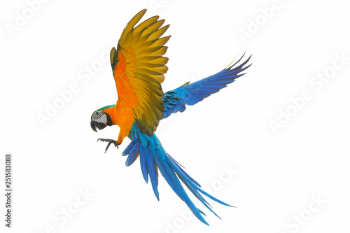 Photo sur Toile Perroquets Colorful flying parrot isolated on white