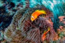 Twist Move Effect Clown Fish Inside Red Anemone In Malduve