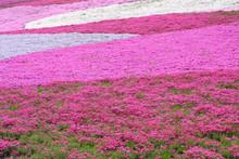 Moss Pink, Moss Phlox Field