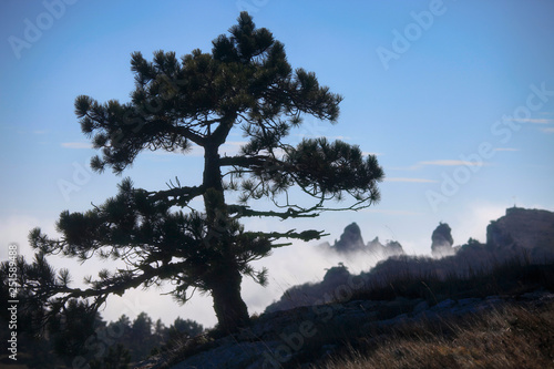 Poster Afrique Large pine on the background of the sky and the silhouette of the mountain Ai-Petri in the fog