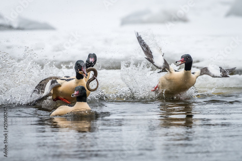 animal, background, beautiful, Beauty, bird, blue, common, europe, Female, fish, goosander, male, merganser, mergus, natural, nature, outdoor, water, white, wild, wildlife, Winter