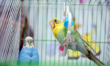 Funny Budgerigar In A Cage At ...
