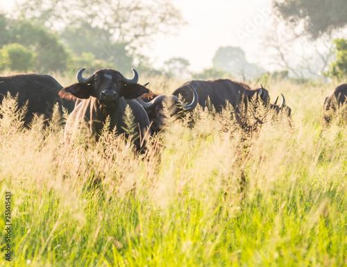 African Buffalo herd on the savanna in Tanzania, Africa