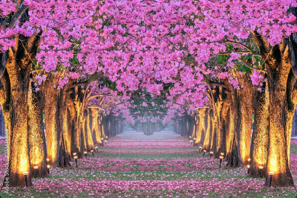 Fototapeta Rows of Beautiful pink flowers trees.