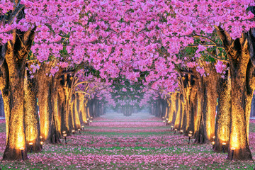 Rows of Beautiful pink flowers trees.