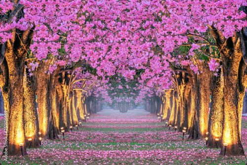 Poster Trees Rows of Beautiful pink flowers trees.