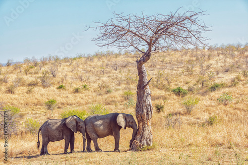 Fototapeta Picture of two resting elephants in Mikumi, Tanzania, Africa