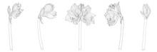 Decorative Clivia Amaryllis Br...