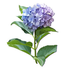 Branch Of Hydrangea Flowers With Leaves. Isolated Floral Object On White Background.