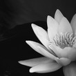 Monochrome water lily against a dark background in the water