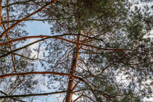 The Branches Of Pine On Blue Sky Background