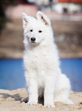 Puppy Breed White Swiss Shepherd