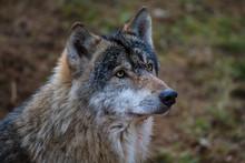 Wolf, Porträt, In Natürliche...