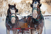 Portrait Of Two Horses Pulling A Cart With Passengers Along A Snow-covered Road In Winter.