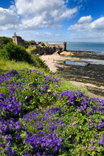 St Andrews Castle Ruins On Rocky North Sea Coast Overlooking Castle Sands Beach In St Andrews Fife Scotland UK With Purple Geranium Flowers