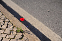 Red Poppy Flower Growing At The Road