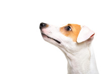 Portrait Of A Jack Russell Terrier Dog Looking Up, Side View, Isolated On White Background