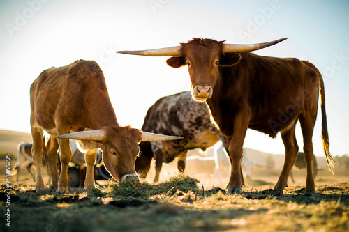 Cattle grazing on ranch