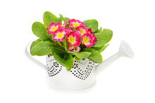 Primrose In Pots Isolated On W...