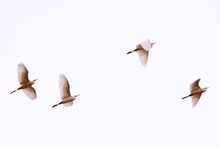 White Herons Flying. Blurred Photo With Birds In Motion. Beautiful Birds Flying, Background. Copy Space. Toned In Pastel Sepia Colors.