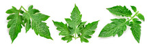 Tomato Green Leaf Isolated
