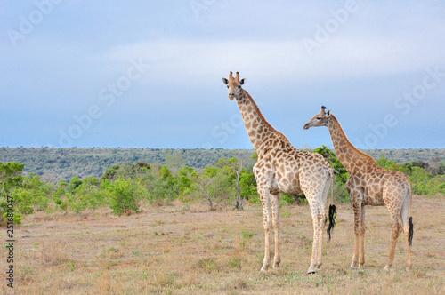 Photo  Adult and baby giraffe