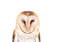 Owl Of The Towers (Tyto Furcata Or Tyto Alba), Also Known As Church Owl, Catholic Owl And Shroud Shroud, This Species Belongs To The Family Tytonidae.