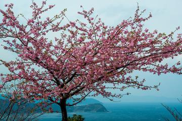 Fototapeta津久見の河津桜