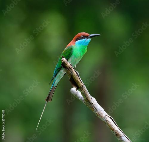 Fotografie, Obraz  Blue-throated Bee-eater (Merops viridis) nature in Thailand