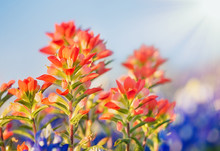 Close-up Of Indian Paintbrush ...