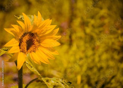 In de dag Zonnebloem sunflower in field