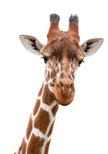 A Curious Giraffe Looks Into T...