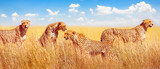 Fototapeta Sawanna - Group of cheetahs in the African savannah. Africa, Tanzania, Serengeti National Park. Banner design.
