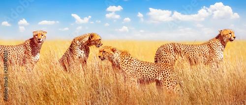 Grupa gepardy w afrykańskiej sawannie. Afryka, Tanzania, Park Narodowy Serengeti. Projekt banera.
