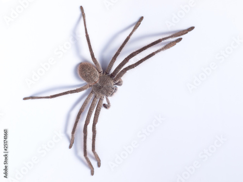 Huntsman spider (family Sparassidae) on white background Wallpaper Mural