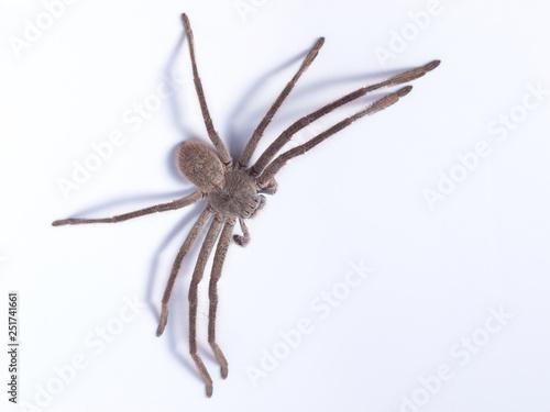 Fotomural Huntsman spider (family Sparassidae) on white background