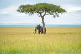 Fototapeta Sawanna - Elephant hiding under the tree